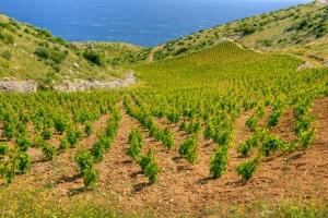 Weinberg an den Südhängen der Insel Hvar. Hier wird einer der besten Rotweine des Mittelmeerraums hergestellt. Der Mali Plavac oder Kleiner Blauer.