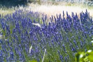 Intensiv leuchtendes Lavendelfeld auf der sonnigen Insel Hvar in Mitteldalmatien