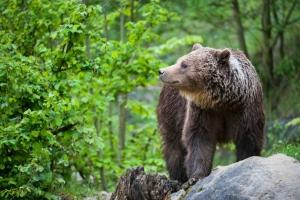 Im Nationalpark Plitvicer Seen leben auch heute noch viele Braunbären. Hier finden Sie ideale Bedingungen vor.