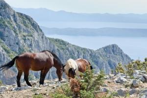 Pferde im Naturpark Biokovo. Auch Ausritte sind möglich. Im Hintergrund sind die Insel Hvar und die Halbinsel Peljesac zu sehen.